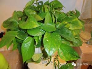 实用 | 水培绿萝的养护方法大全