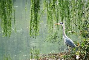【摄影欣赏】两个黄鹂鸣翠柳,一行白鹭上青天